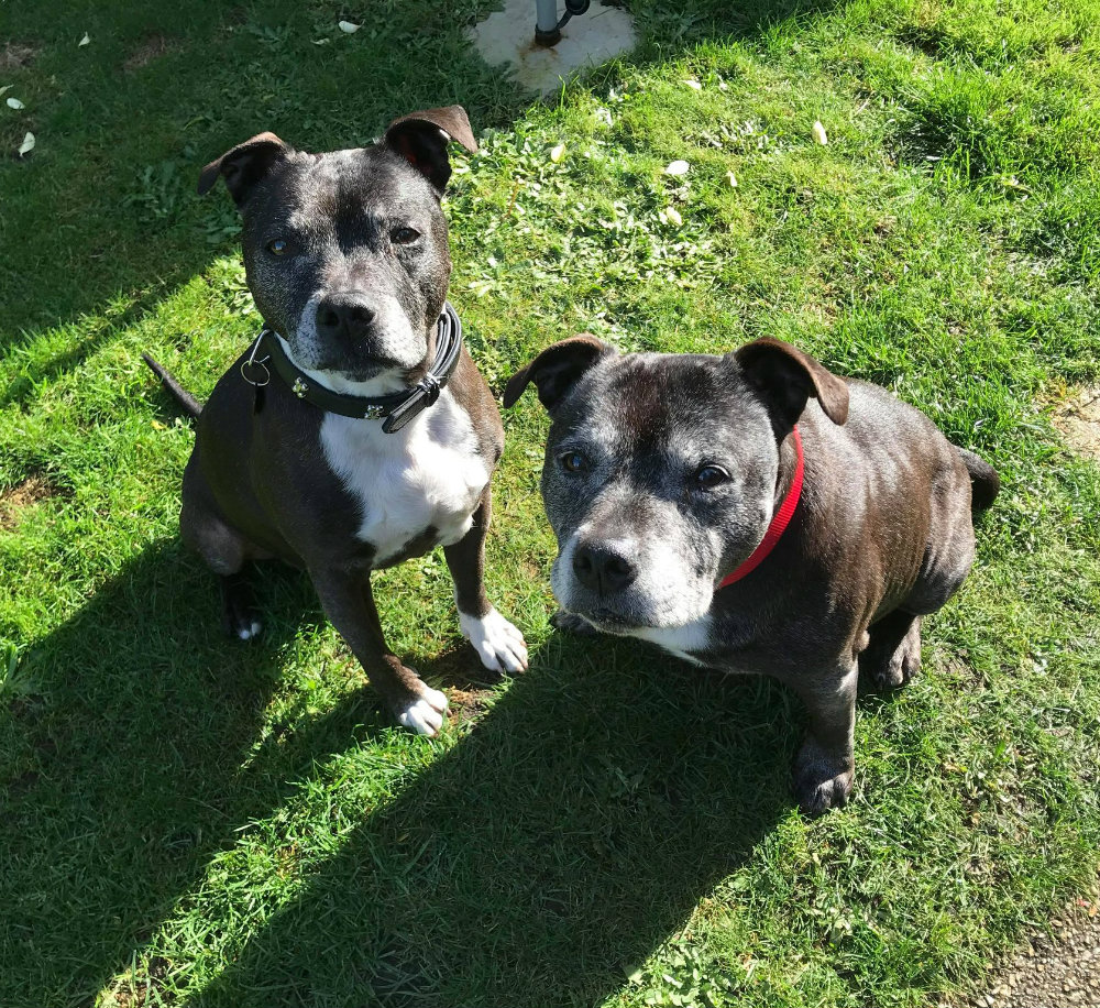 Alfie & Junior the Staffie