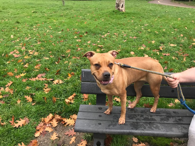 Amber the Staffie