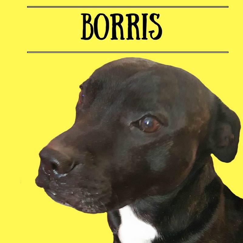 Borris the Staffie
