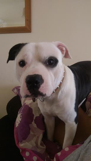 Buster the Staffie