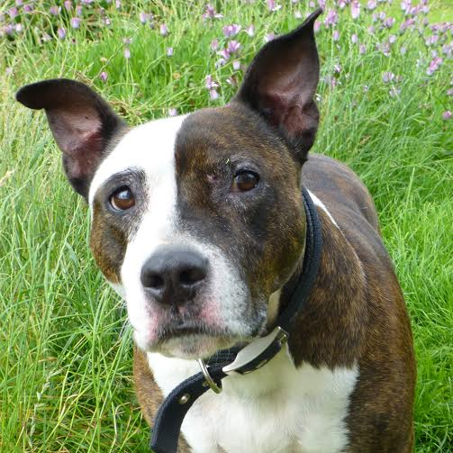 Charlie the Staffie