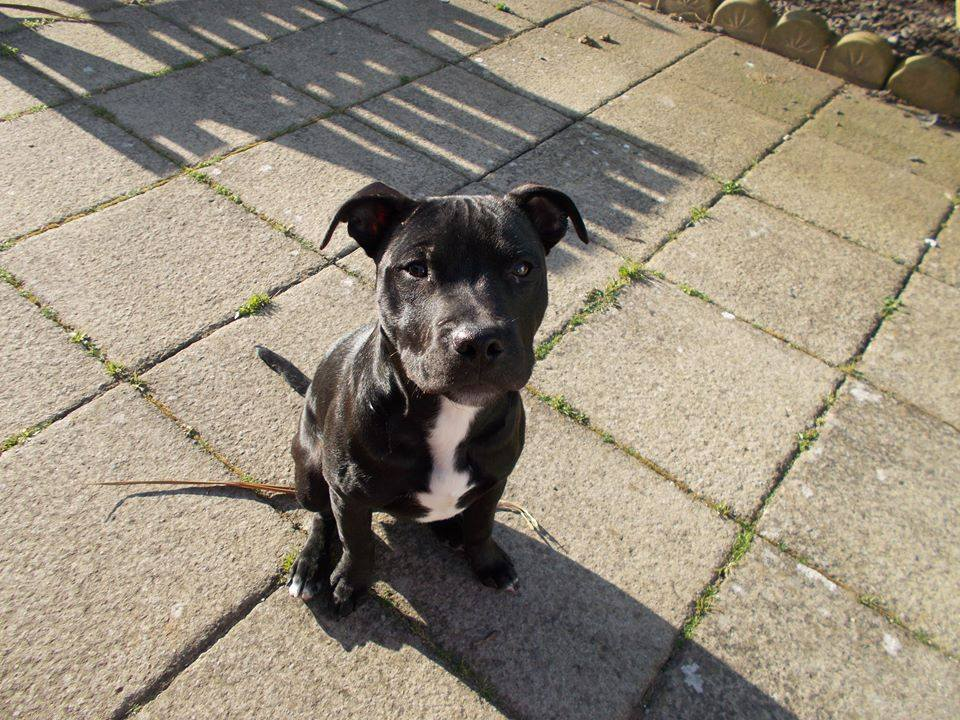 Chester the Staffie