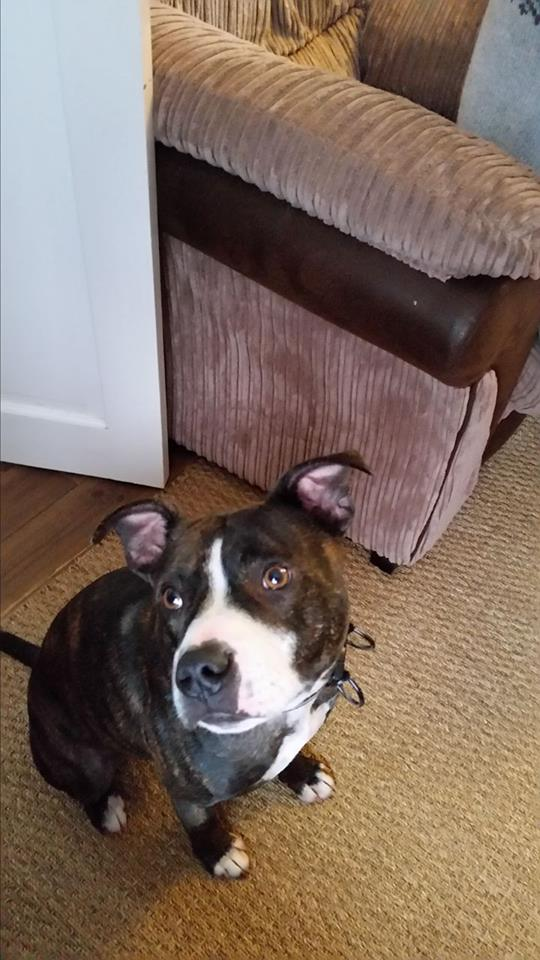 Enzo the Staffie