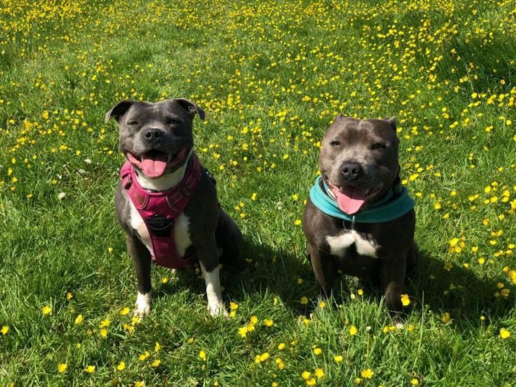 Gypsy & Rascal the Staffie