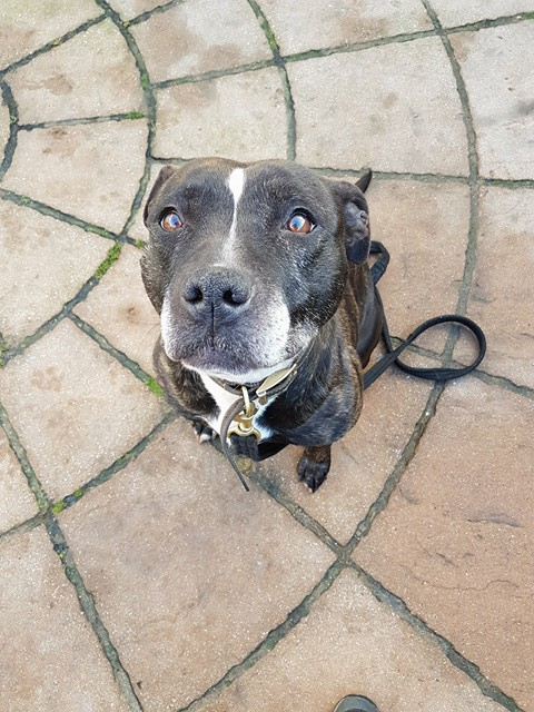 Holly the Staffie