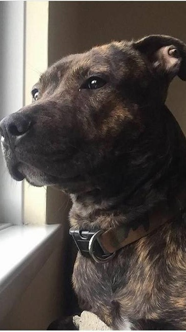 Jager the Staffie