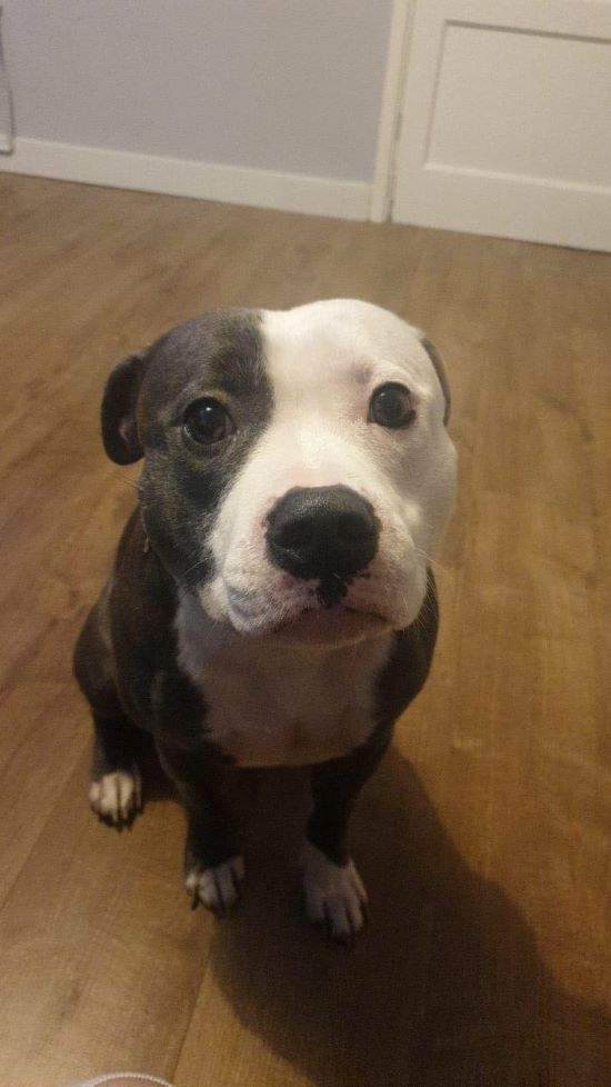 Justice the Staffie