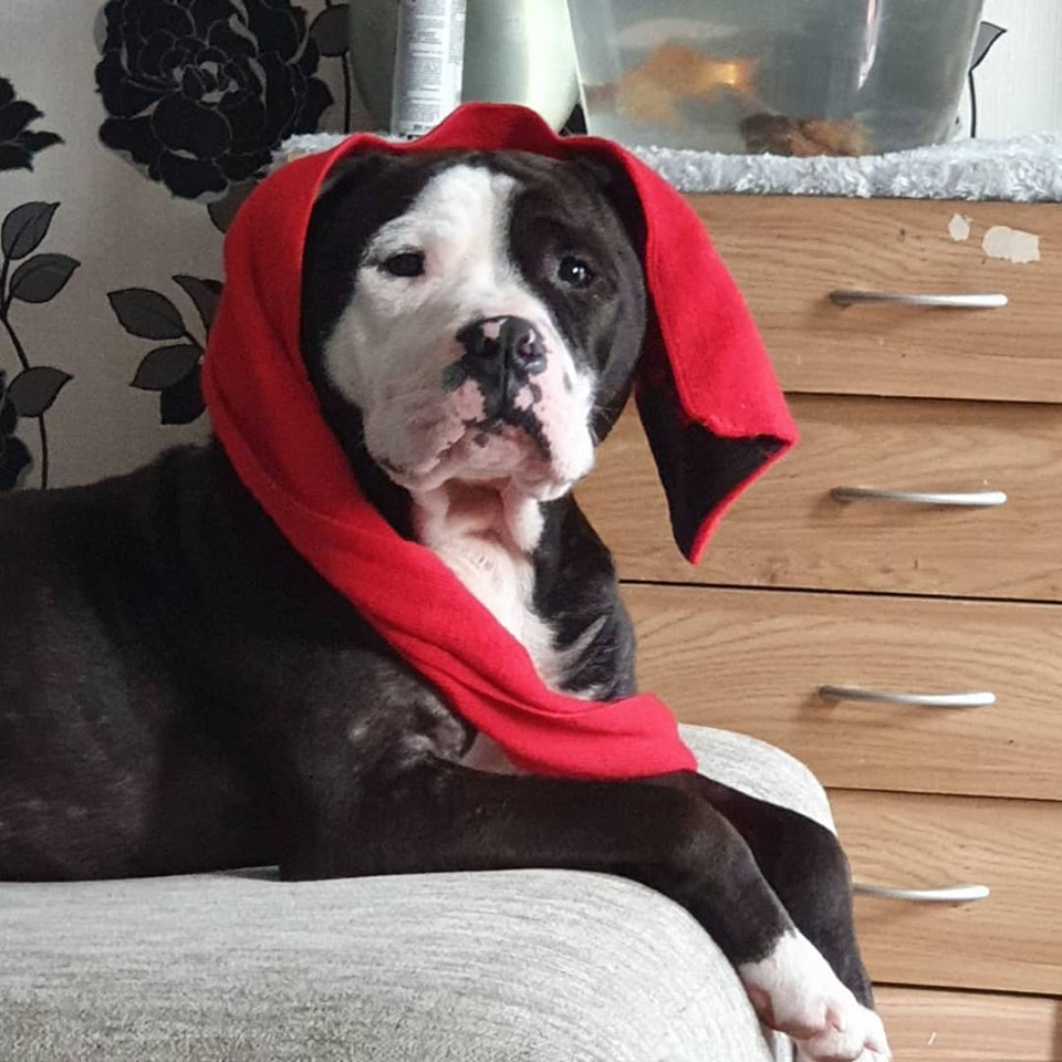 Ozzy the Staffie