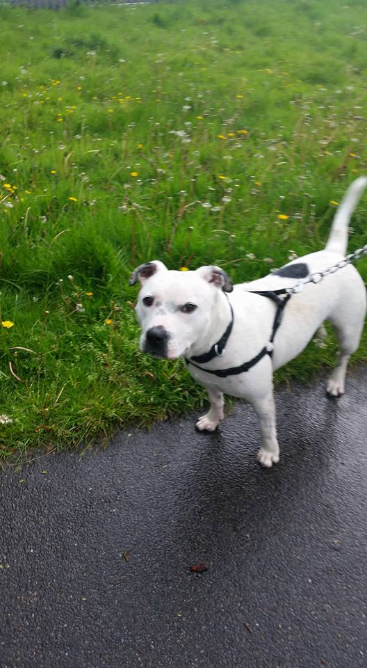 Patch the Staffie