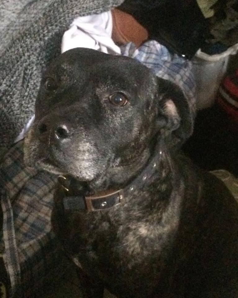 Sarge the Staffie