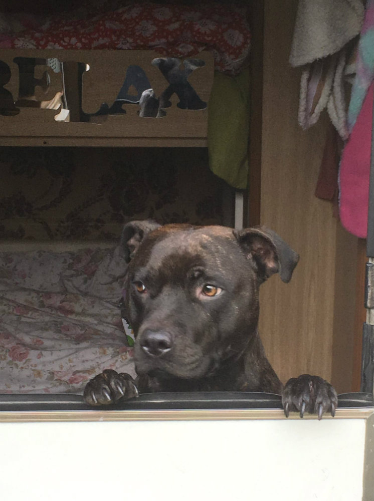 Skye the Staffie