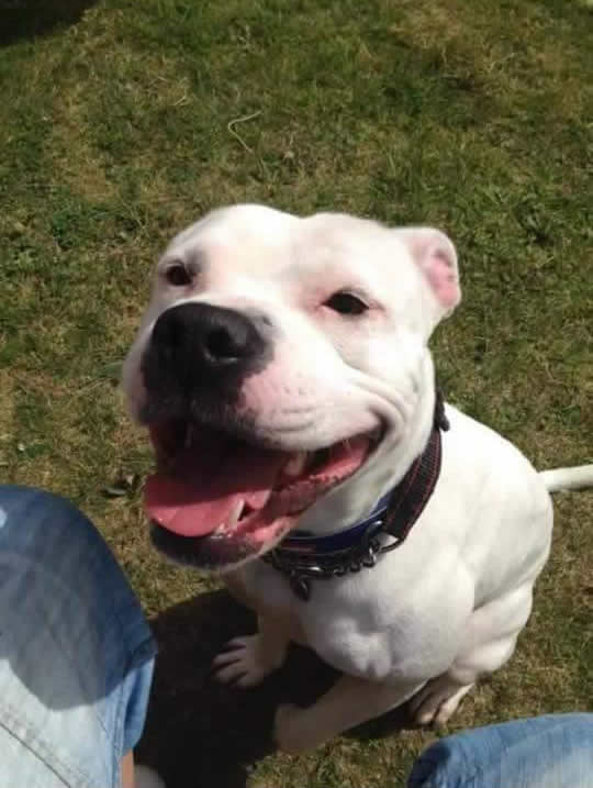 Snoopy the Staffie