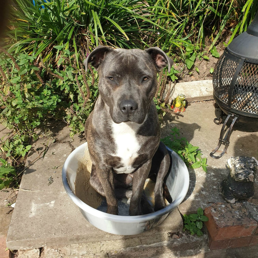 Storm the Staffie