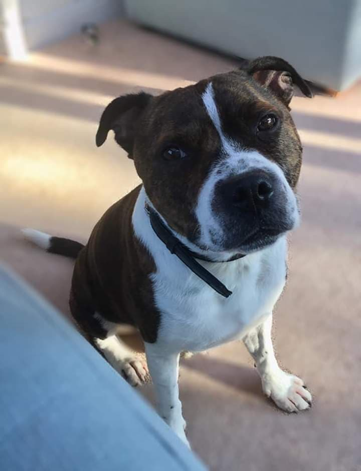 Thatcher the Staffie