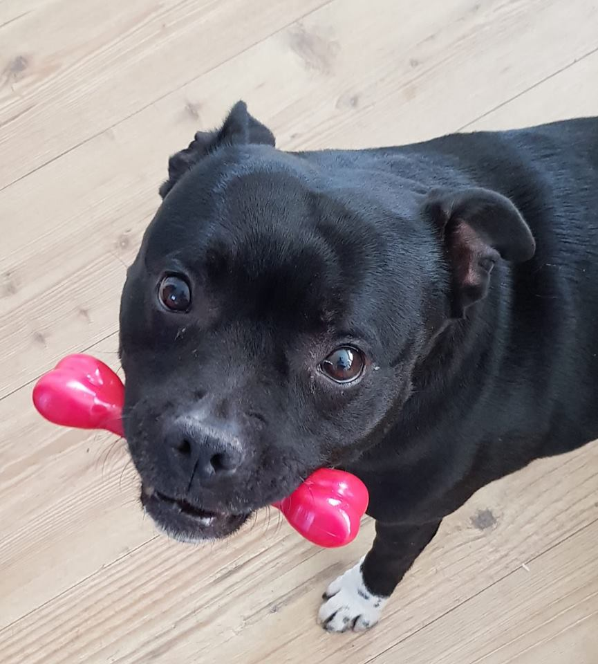 Tilly the Staffie