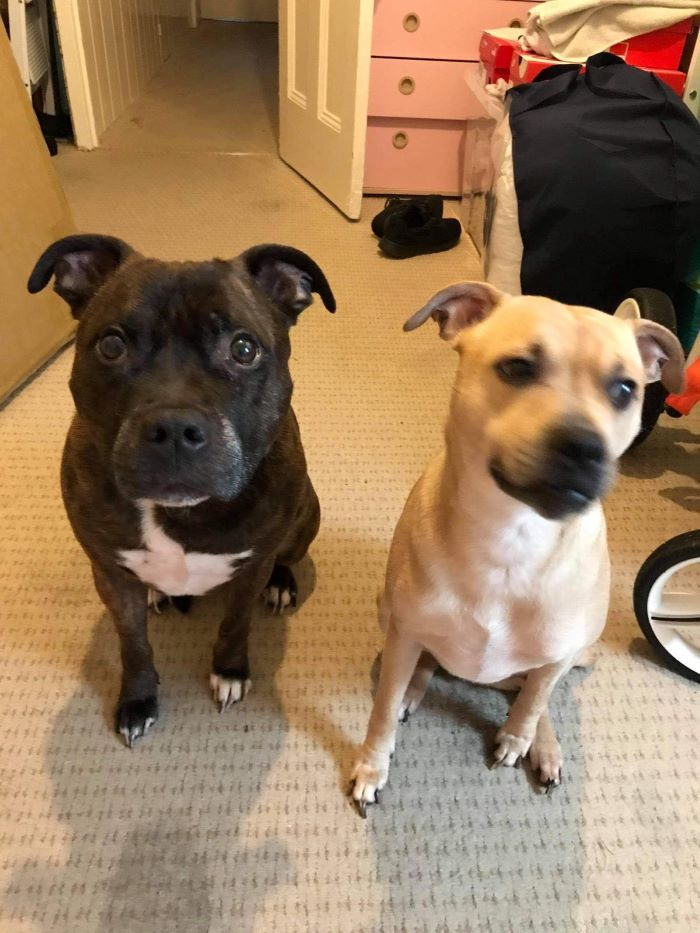 Tyson & Marley the Staffie